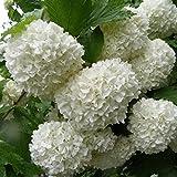 Viburnum opulus 'Roseum' - Boule de neige - Viorne blanche stérile en POT
