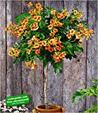BALDUR-Garten Campsis-Stämmchen 'Indian Summer' Trompetenblume, 1 Pflanze Zierstämmchen winterhart