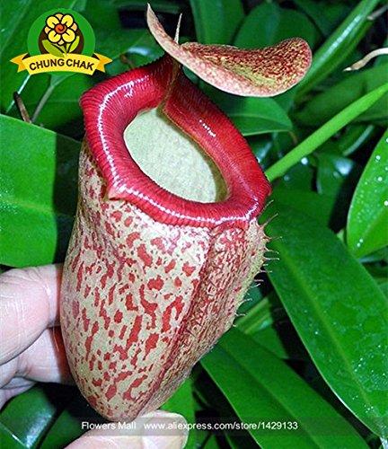 Manger moustiques Plantes carnivores Graines Nepenthes 200pcs / sac Pitcher Tropical Plante Catch insectes Jardin Bonsai pot Easy Grow 3