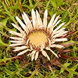 Stemless Carline Thistle, semi di sangue di arenaria - Carlina acaulis