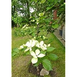 TROPICA - Asiatischer Blüten - Hartriegel (Cornus kousa var. chinensis) - 30 Samen