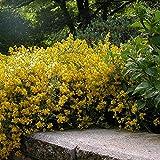 Portal Cool 1 X Genista Lydia Spanisch Ginster Strauch Hardy Garten Pflanze im Topf