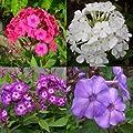 lichtnelke - Stauden-Paket mit 10 Pflanzen Flammenblume (Phlox) von Lichtnelke Pflanzenversand auf Du und dein Garten