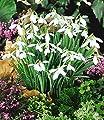 BALDUR-Garten Schneeglöckchen, 50 Zwiebeln Galanthus nivalis von Baldur-Garten - Du und dein Garten