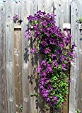 Riesenclematis, Clematis Waldreben Kletterpflanzen, Etoile Violette, sehr robust 120-150cm topfgewachsen