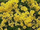 Portal Cool Panier de l'or Alyssum 200 graines de superbes fleurs jaunes