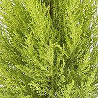 Cupresus Gold Crest - Maceta 14cm. - Altura aprox. 45cm. - Planta viva - (Envíos sólo a Península)