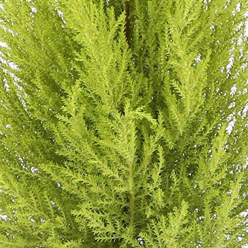 cupresus-gold-crest-maceta-14cm-altura-aprox-45cm-envios-solo-a-peninsula