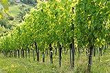 Infrarotheizung Bildheizung SLIM Stahlblech rahmenlos – extra schlank, 600 Watt, 90x60x1,5 cm - mit hochwertigem Druck und Schutzlack, Motiv Weingarten