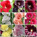 100 gemischte Stockrosen (Hollyhock) Charter & Alcea Samen von mohnkoepchen von mohnkoepchen bei Du und dein Garten