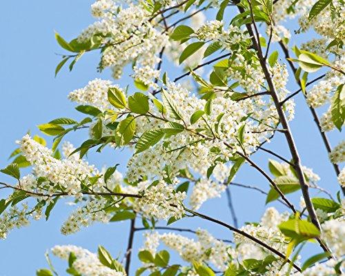 Frühe Traubenkirsche Prunus padus 15 Samen
