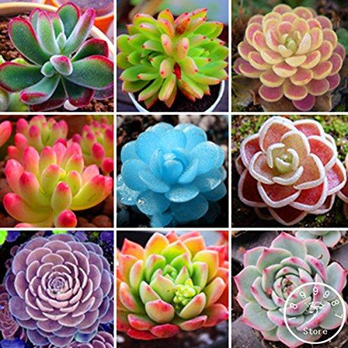 100 Rare Mix Graines Lithops Pierres vivantes Succulent Cactus Jardin bio en vrac semences, # ICZD6Q