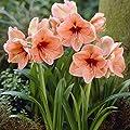 Amaryllis Rilona von Meingartenshop - Du und dein Garten
