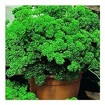 Persil frisé vert foncé 4 grammes
