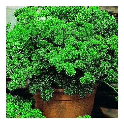 persil-frise-vert-fonce-4-grammes