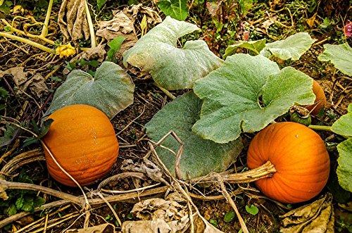Biologique certifié New England Pie de graines de citrouille (~ 35): Heirloom non-OGM Paquet