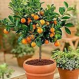 FastDirect Semillas de Naranjas Arboles 10 PCS Semillas de Naranjas Bonsai para Jardín, Huerto, Balcón Interior