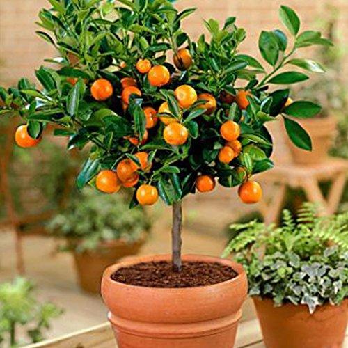FastDirect Semillas de Naranjas Arboles 50 PCS Semillas de Naranjas Bonsai para Jardín, Huerto, Balcón Interior