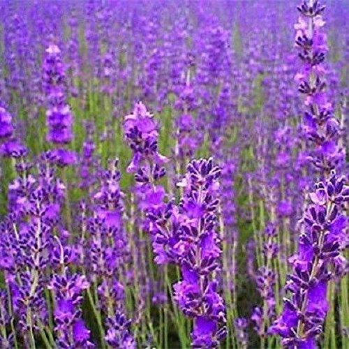 Perte de semences de fleurs de Promotion 2015 Vente chaude 20 Pcs Belle Lavender Herb Seed Diy jardin Plantes décoratives Goutte