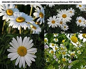 Lot de 50 Graines Chrysanteme Des Pres Chrysanthemum Leucanthemum TOP QUALITE