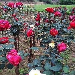 Shopmeeko 100 rote Rosenpflanzen Garten Topfblumen Pflanzen, Home Balkon Hof, Bonsai Bonsai Baum Zimmerpflanzen Blüten Sement: hellgrau