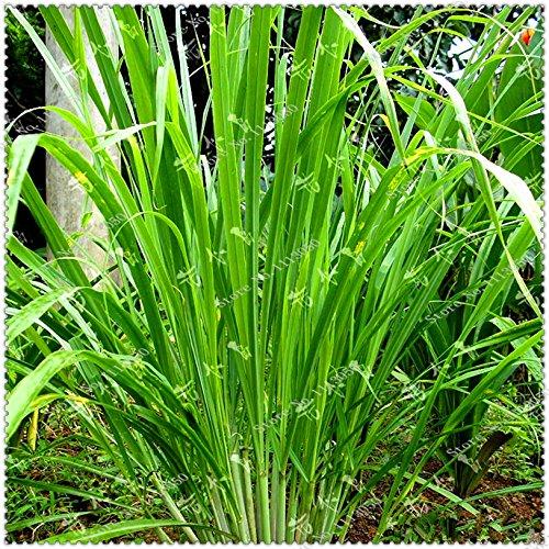 New 200pcs / bag Zitronengras Seeds Erbstück Bio Medizinische Kräuterpflanzen, Bonsai-Pflanze Hausgarten