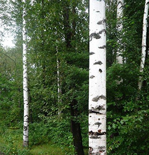 100Europa weiß Birke Baum birkengewächse Samen ~ Chris 's Garden
