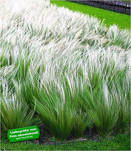 BALDUR-Garten Mädchenhaargras Federgras (Stipa), 3 Pflanzen Engelshaargras winterhart Garten-Ziergräser