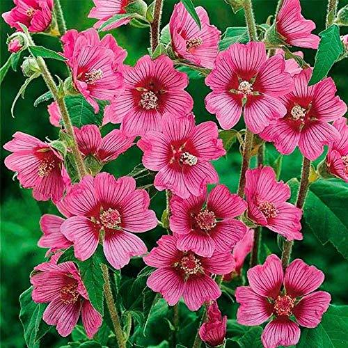 MEIGUISHA Gartensamen-100pcs Wilde Malve sylvestris Zier/Arzneipflanze malva moschata Sommermalve Mischung Blumensamen für Garten und Balkon