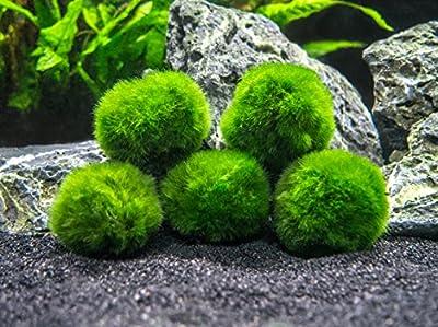 Aquatic Arts 10Marimo Moos Kugeln, 2,5cm