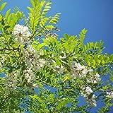 Robinia pseudoacacia - Robinier faux Acacia en racines nues