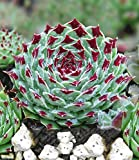 BALDUR-Garten Steinrose,2 Pflanzen
