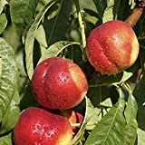 Image of 1 m Nectarine Flavourtop Fruit Tree in 5 Litre Pot - Comparsion Tool