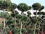 Pon Pon 180 cm Formgehölz Scheinzypresse 'Columnaris' Zypresse, 5-8 Pon Pon's, Gartenbonsai Test