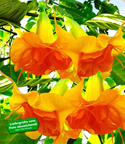 """BALDUR-Garten Engelstrompete """"Sunexplosion"""",1 Pflanze Brugmansia Datura"""
