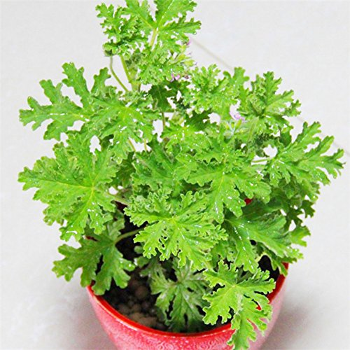 100 PCS semences de plantes anti-moustiques Sweet Grass Jardin et la maison Bonsaïs Plante insectifuge en pot Plante d'intérieur