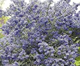 "Portal Cool Ceanothus Madagascar - Lillà della California Pianta In 3.5"" Pot"