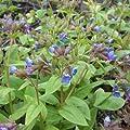 Lungenkraut ( Pulmonaria angustifolia ) von Lichtnelke Pflanzenversand - Du und dein Garten
