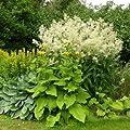Buschknöterich (Persicaria polymorpha / Polygonum ) Knöterich von Lichtnelke Pflanzenversand - Du und dein Garten