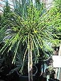 Thuja plicata Whipcord - Faden-Lebensbaum Whipcord - Veredelung auf einen Hochstamm -