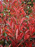 50 x Photinia fraseri 'Little Red Robin' (Rote Zwerg-Glanzmispel) 10/20 FÜR...
