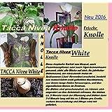 2x Racine Tubercule Tacca Nivea blanc Chauve-souris Plant Jardin Frais original