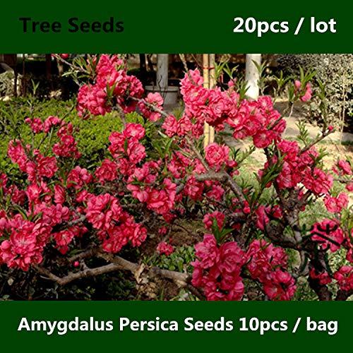 Chinesische Pfirsich (Shopmeeko ^^ Rosaceae chinesischer Pfirsich Amygdalus Persica ^^^^ 20pcs, weit verbreitet Prunus Persica ^^^^, Laubbaum Zi Ye Bi Tao ^^^^)