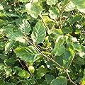 100 Stück Fagus sylvatica - (Rotbuche)- Wurzelware 80-120 cm von Pflanzen-Discounter24.de auf Du und dein Garten