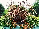 Ultrey Samenshop - 50 Stück Lampenputzergras Samen Lila Brunnen Ziergras Hasenschwanz-Gras Saatgut Grassamen winterhart mehrjährig für Garten
