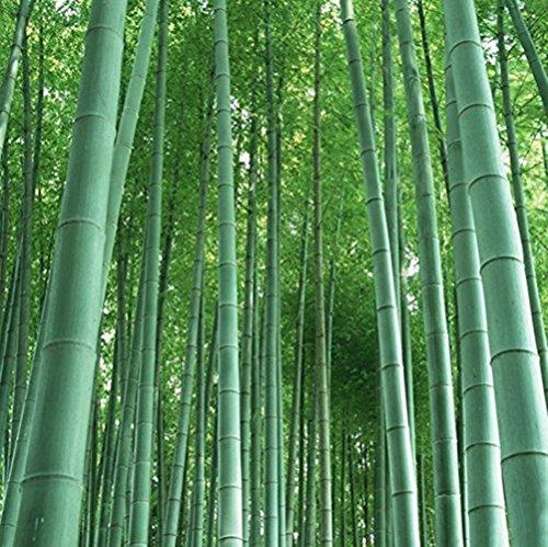 RIESENBAMBUS Samen - 60 Stück - Moso Bambus - Winterhart wächst 8 bis 10 Meter in Rekordgeschwindigkeit