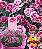 """BALDUR-Garten Stauden-Nelke""""Pink Kisses®"""" Duftnelke, 3 Pflanzen Dianthus winterhart duftend"""