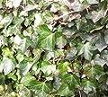 Gemeiner Efeu - Hedera helix 60-80 cm, 4-6 Triebe gestäbt von Gartengruen24 - Du und dein Garten