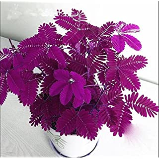 Hot Sales! 100pcs Seeds Mimosa Pudica Linn, Foliage Mimosa Pudica Sensitive Bonsai Plant Home Garden Free Shipping 1