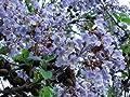 Paulownia Shan Tong Blauglockenbaum 80-100 cm im 5 Liter Container Enormer Wuchs Frosthart Orchideenartige Blüten von CSL sunrise GmbH auf Du und dein Garten